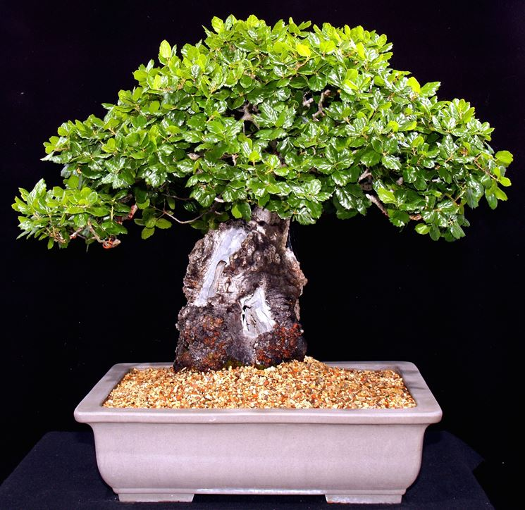 Possente bonsai quercia