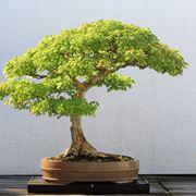 Esempio di albero bonsai