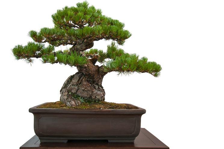 Bonsai significato - Bonsai - Il significato dei bonsai