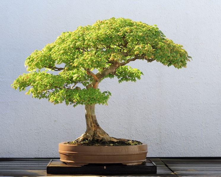 La luce naturale favorisce la crescita dei bonsai