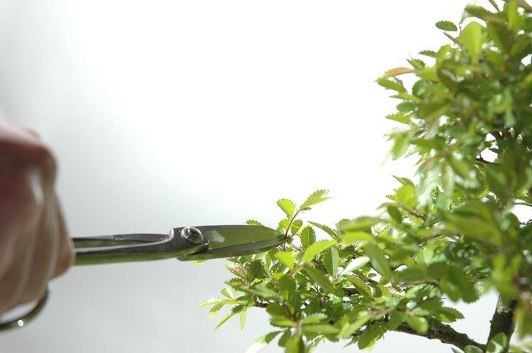 La potatura è essenziale per mantenere sano e bello il bonsai