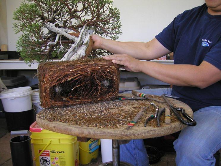 Fondamentale fare attenzione durante le fasi di reinvaso del bonsai