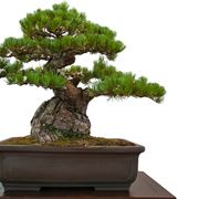 Bonsai di Pino Nero