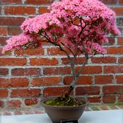 come creare un bonsai