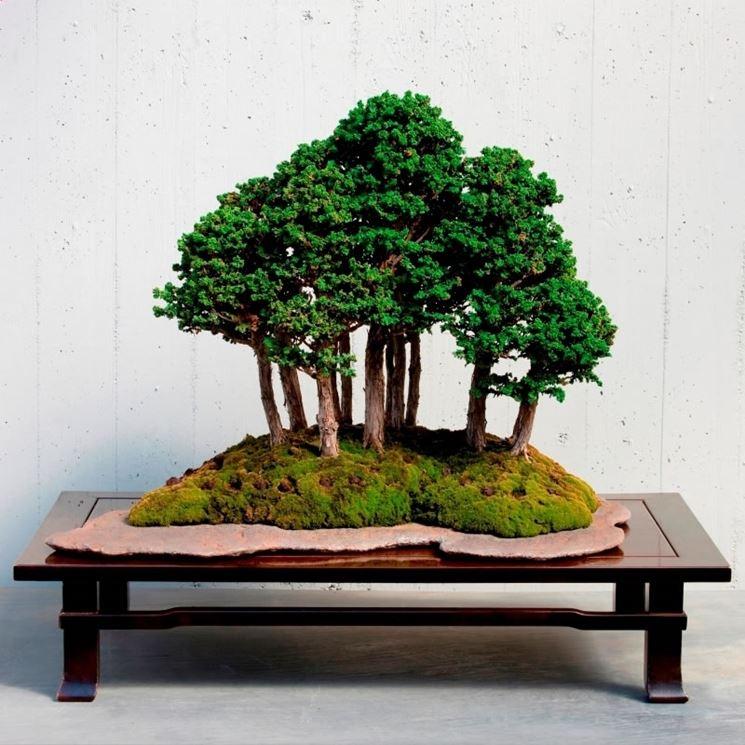 Un esempio di bonsai dell'azienda Crespi