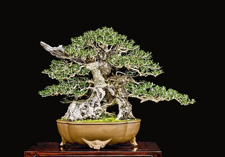 Irrigare bonsai olivo