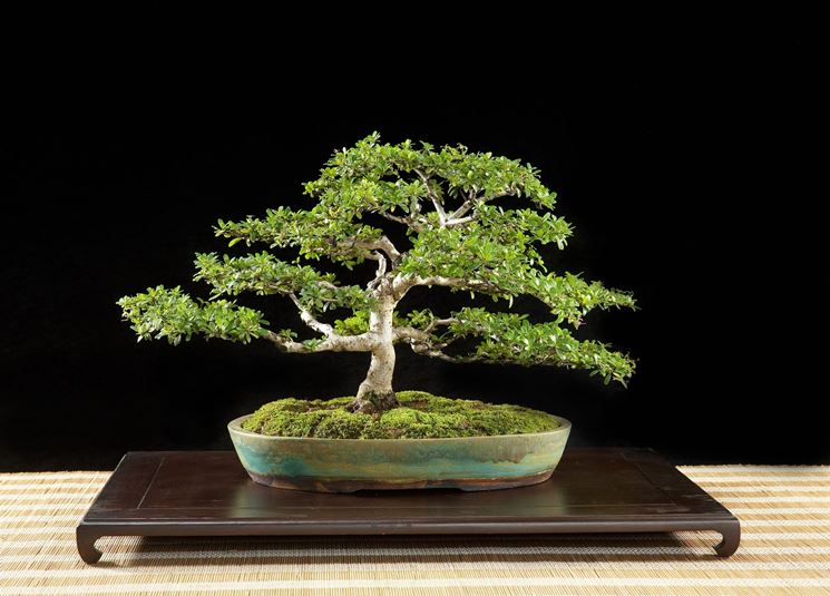 Potare bonsai olivo