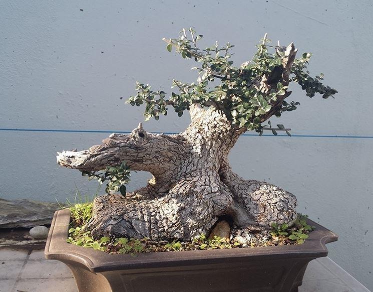 Malattie bonsai olivo