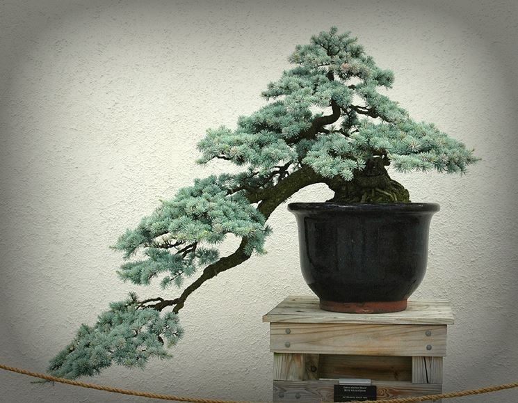 Bonsai a cascata