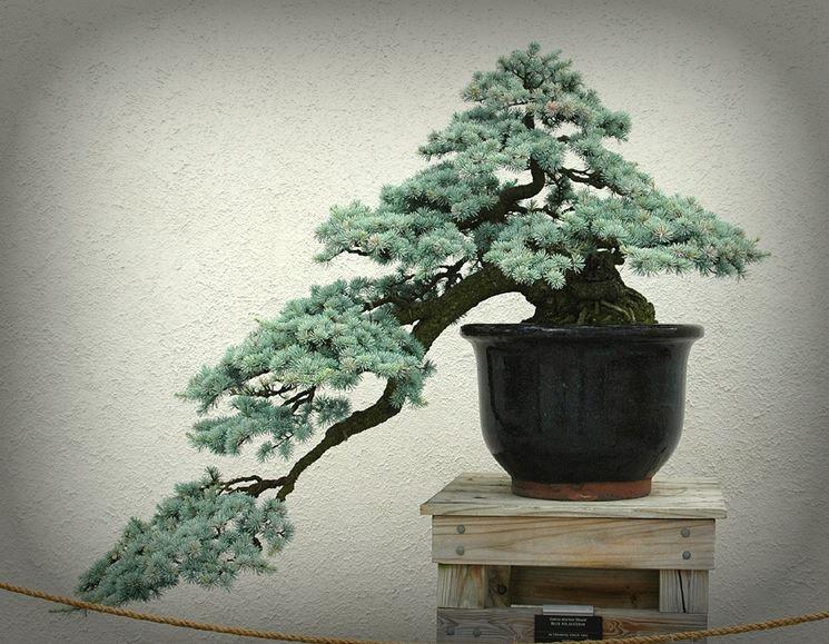 Vasi per bonsai cascata ulivo bonsai attrezzi e vasi per for Vasi bonsai giapponesi