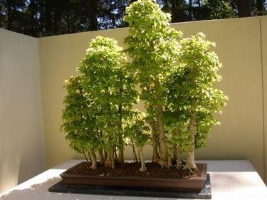 Esemplari di Olmo bonsai