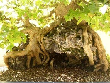 Radici e fronde di Olmo bonsai