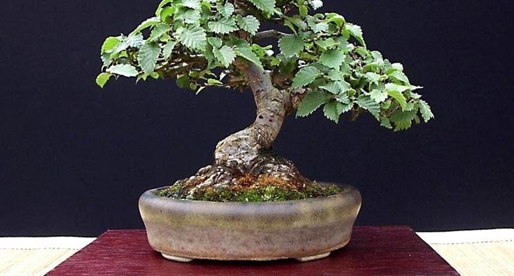 Specie di Olmo bonsai