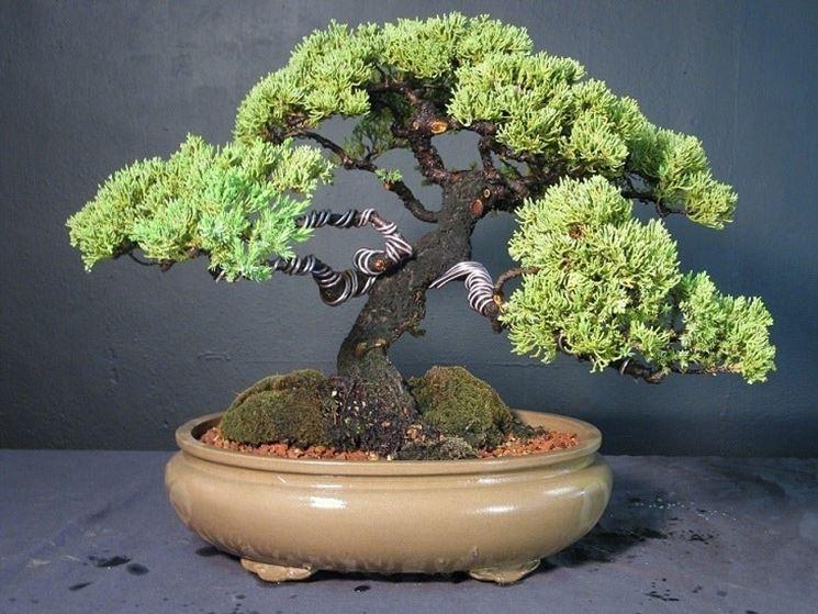 Esemplare di Olmo bonsai