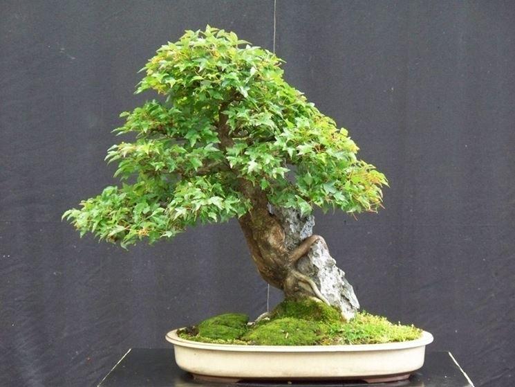 Bonsai con radici sulla roccia