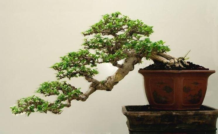 Bonsai stile cascata