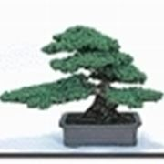 stili bonsai
