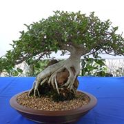 ficus bonsai in un vaso