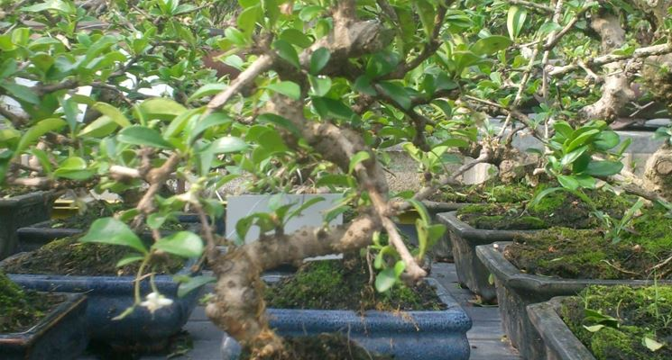 carmona bonsai in vaso blu