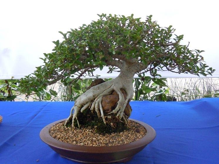ficus bonsai in un vaso