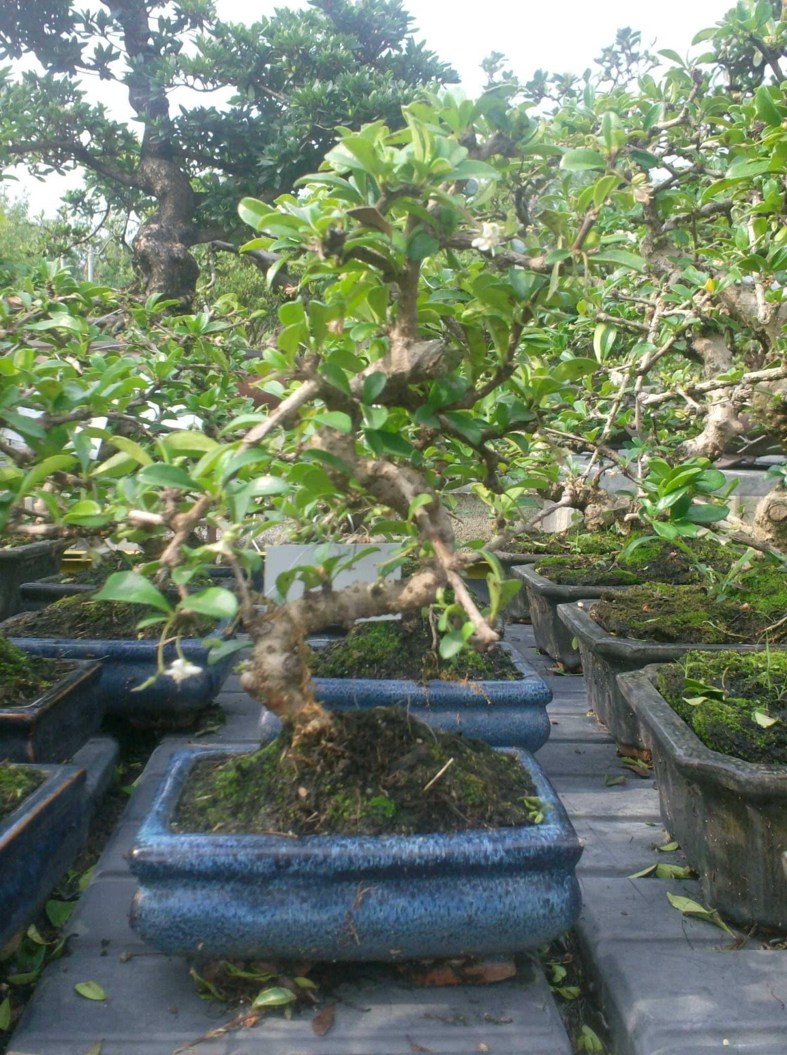 Casa immobiliare accessori tutti i tipi di bonsai for Accessori per bonsai