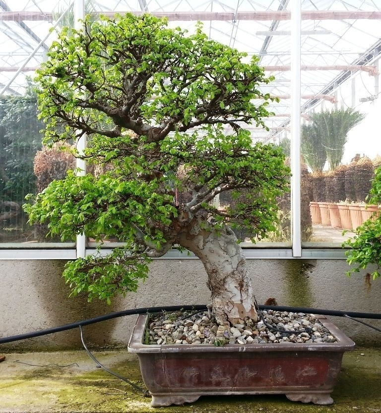 Tipi di bonsai piante appartamento bonsai scegliere for Tipi di bonsai