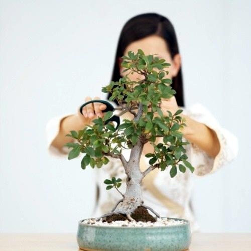 Vendita bonsai bonsai bonsai per appartamento vendita for Bonsai comprare
