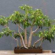 Bonsai Ficus Benjamin o Benjamina