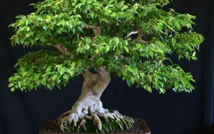 Stile bonsai ficus benjamina