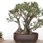 Un bonsai di olivo
