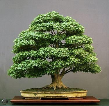 Un esempio di bonsai dalla chioma uniforme