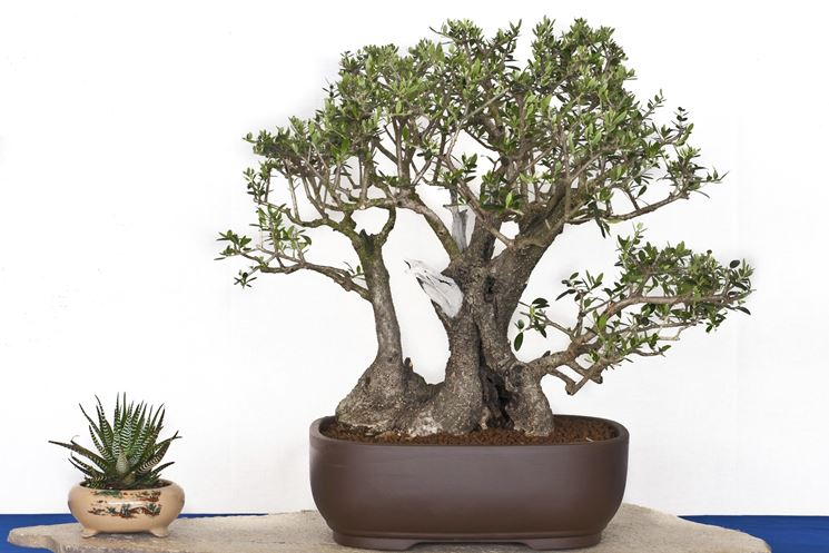 Bonsai potatura ficus come potare i bonsai for Olivo bonsai prezzo