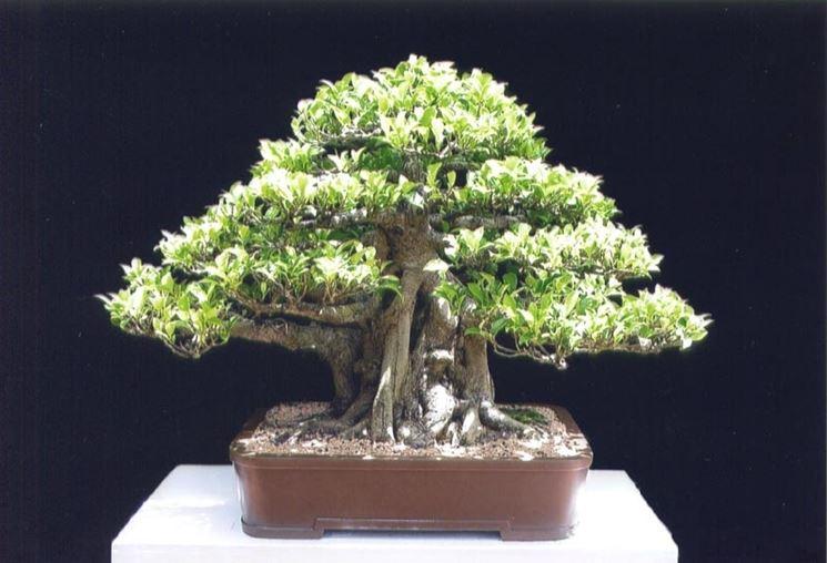 Un bonsai di ficus