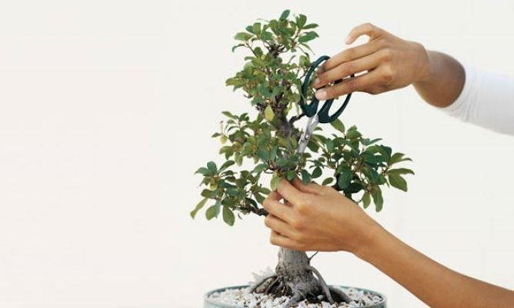 La potatura di un bonsai
