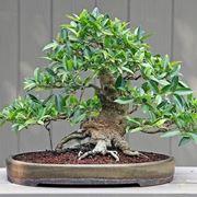 Bonsai potatura ficus come potare i bonsai for Ficus benjamin potatura