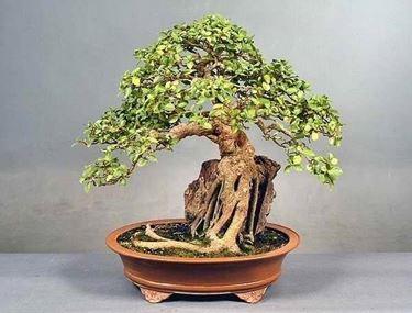 splendido bonsai