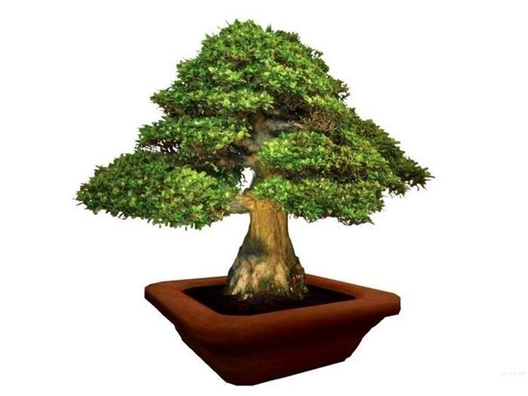 Cura bonsai ficus ficus - Cura dei bonsai in casa ...