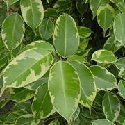Potatura ficus benjamin ficus for Ficus benjamin perde foglie