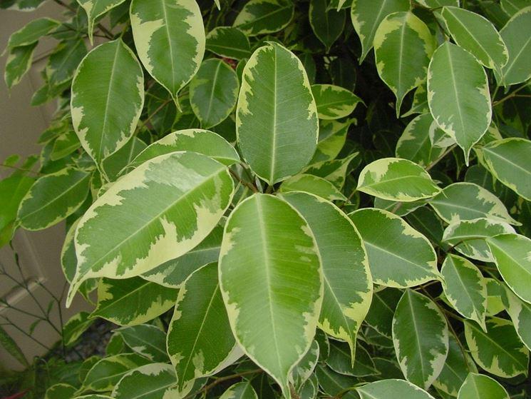 Ficus benjamin malattie