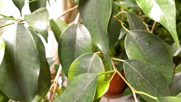 cocciniglia ficus