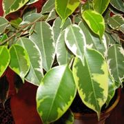 foglie ficus benjamina natasja