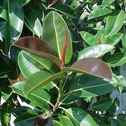 Ficus elastica malattie