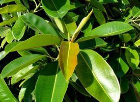 Ficus elastica potatura