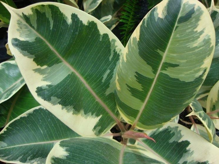 Ficus elastica variegato