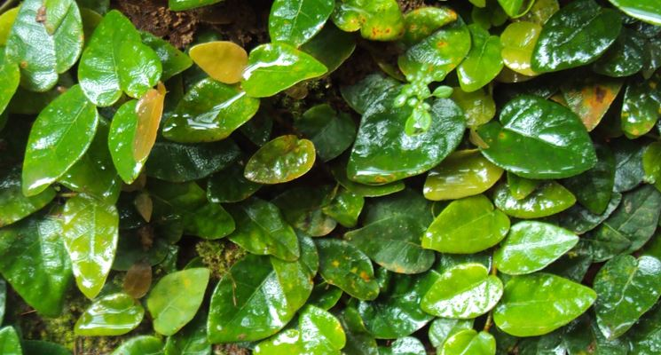 Ficus foglie gialle