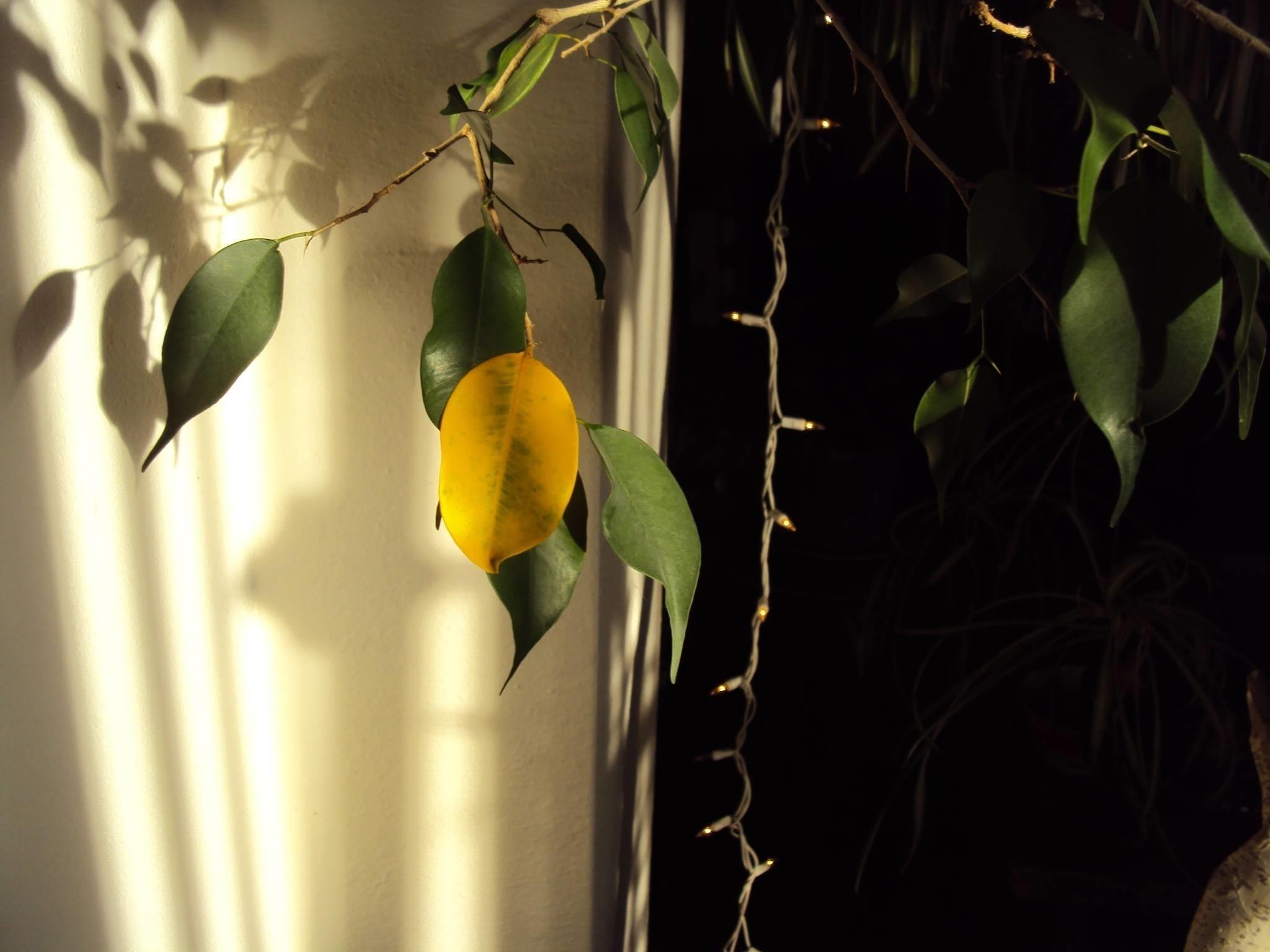 Ficus foglie gialle ficus for Ficus benjamin perde foglie