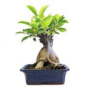 bonsai ginseng