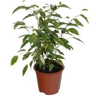 piante appartamento ficus