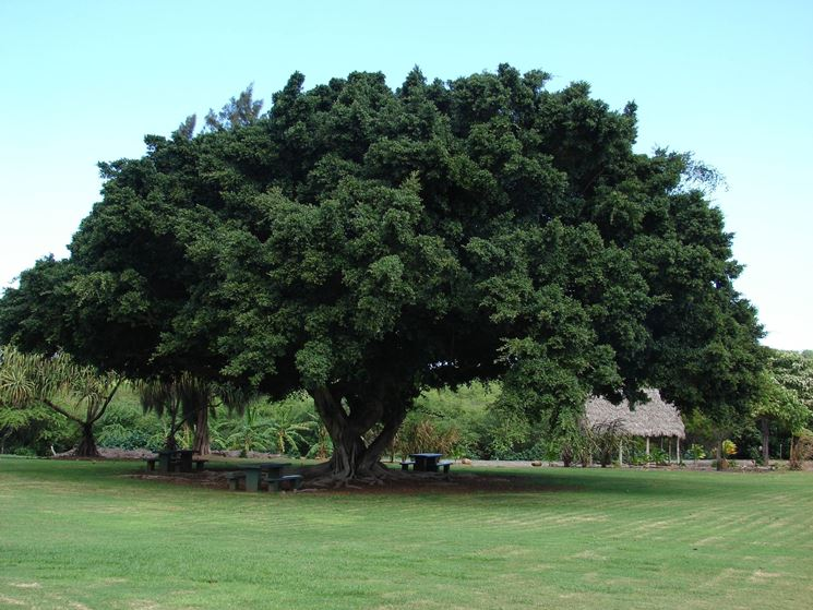 Ficus microcarpa ficus for Bonsai pianta