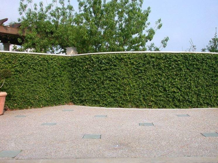 cancello con ficus pumila